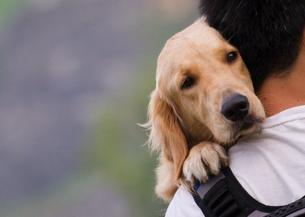 golden retriever in the arms of his owner